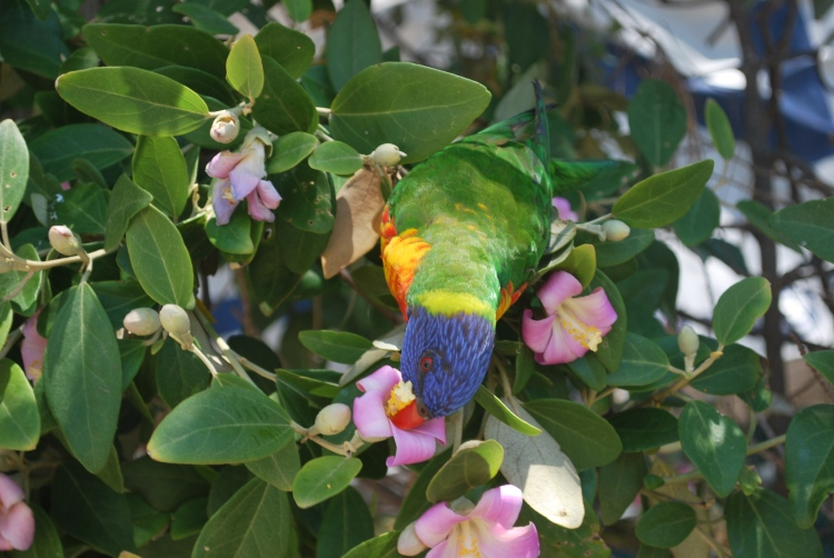 The exotically colorful lorikeets were everywhere in Manly. So busy gathering nectar they barely pay attention to the passers-by.