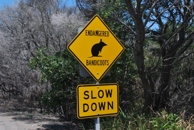 Slow down for what? Like the mystical Grampians kangaroo, not a bandicoot to be found.