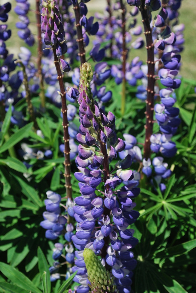 Lupins, a ubiquitous sight along the roads of New Zealand.